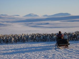 Reindeer-migration-large-3673
